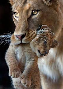 Mother & cub - Lions Photo (32150488) - Fanpop