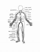 Human Coloring Veins Pages Main Systems Drawing Organs Figure Arteries Circulatory System Anatomy Printable Physiology Getdrawings Liver Popular Muscles Coloringhome sketch template