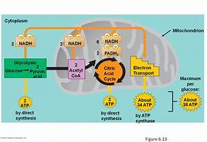 Chapter 6  Cellular Respiration- Energy From Food