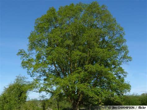 cuisiner le gibier frêne commun frêne élevé fraxinus excelsior conseils