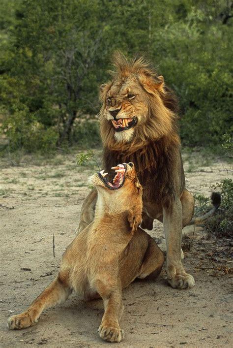 fang tastically gnarly  rudi hulshof lion expressions