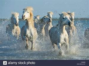 Grey Camargue horses, galloping through water in the ...