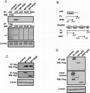 Ggap2 Interacts With P50 Subunit Of Nf