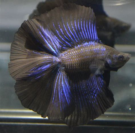 betta fish live betta fish quot huge fins quot rare super black metallic doubletail male beautiful metals and