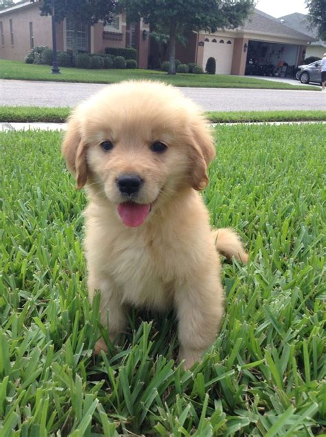 week  golden retriever puppy  cute