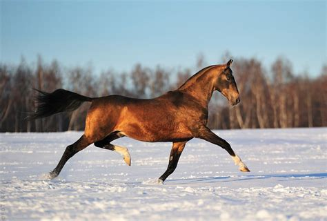 horse akhal teke horses breeds tekes asian wikipedia shael stud central babaev colour breeder leonid particular breed equine stallion khair
