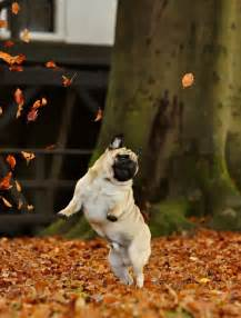 Pumpkin Patch Ma by Dog Funny Cute Puppy Fall Autumn Seasonal Pug Jump Leaves