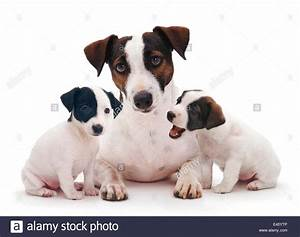 Smooth coated Jack Russell Terrier, black, tan and white ...