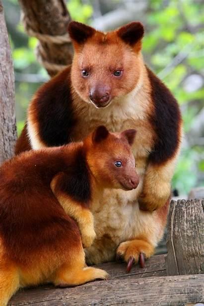 Tree Kangaroo Dendrolagus Zoo Golden Goodfellow Mantled