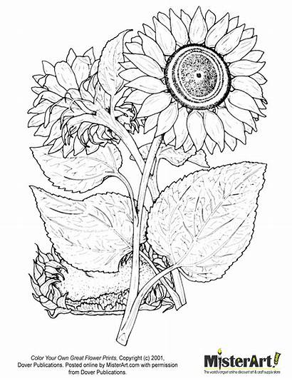 Coloring Pages Flower Adults Sunflower Sheets Dover