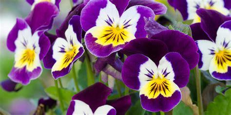fiori le viole fiori commestibili viole vivo germogli acquista