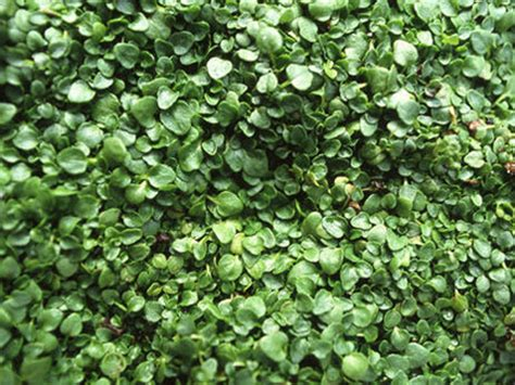 low growing ground cover ground cover flowers low growing flowers