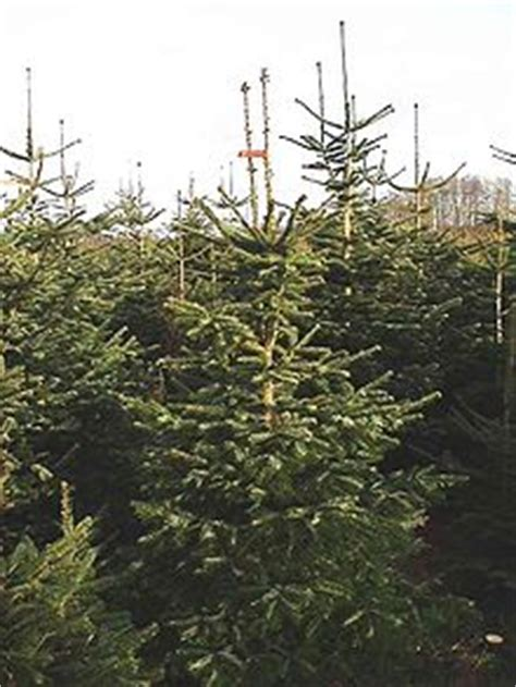 what type of christmas tree lasts the longest tree production