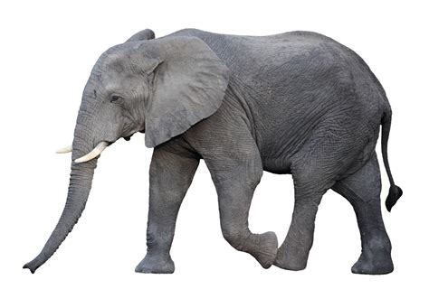 how can an elephant get why elephants rarely get cancer what it means for the future of treating disease in humans