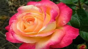 Rose Orange Garden Pink Nature Flowers Ultra 2560x1600 Hd