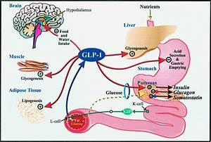 Glucagon  Causes  Symptoms  Treatment Glucagon