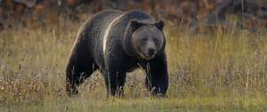 Bear Encounters Double At Yosemite Over 2016