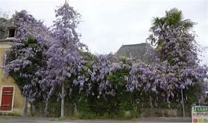 Comment Tailler Les Orchidées Pour Qu Elles Refleurissent : comment tailler une glycine de chine jardipartage ~ Melissatoandfro.com Idées de Décoration