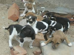 indian pariah dogs breed information history and facts