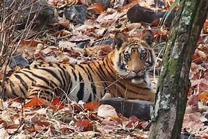 Why Is My Tiger Not Sharp   Micro Four Thirds Talk Forum  Digital Photography Review