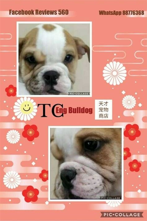 feb puppies sale english bulldog puppies
