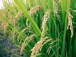 Rice Plant  Rice Plant