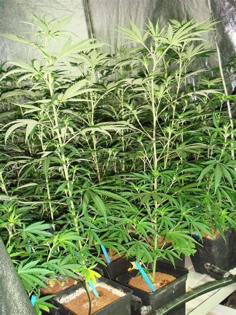 culture de cannabis avec les engrais metrop du