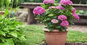 Hortensie Umpflanzen Im Topf : hortensien im topf mein sch ner garten ~ Orissabook.com Haus und Dekorationen