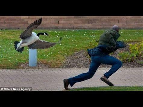 people  geese funniest   hilarious geese