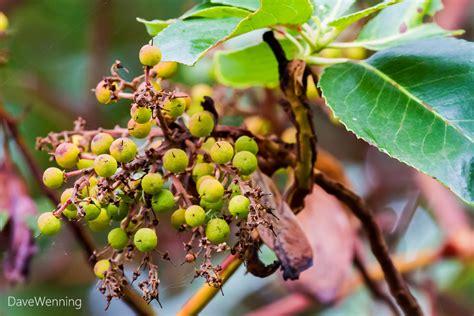 berry bearing trees madrona bearing fruit