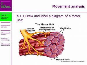 Describe The Motor Unit And Myofibrils Of Muscles