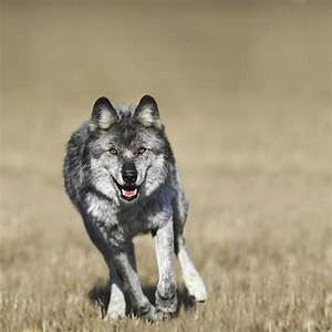 Wolf Canis Lupus Running Towards Camera Photograph by