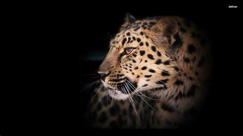 Leopard Animal Wallpaper - leopard wallpapers wallpaper cave
