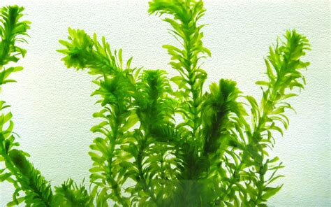for plants anacharis egeria densa caresheet aquatic mag