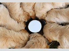 Golden Retriever Welpen Tipps und tolle Fotos