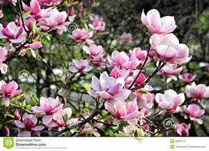 Fleur De Magnolia : arbres de ressort de magnolia en fleur image stock image ~ Melissatoandfro.com Idées de Décoration