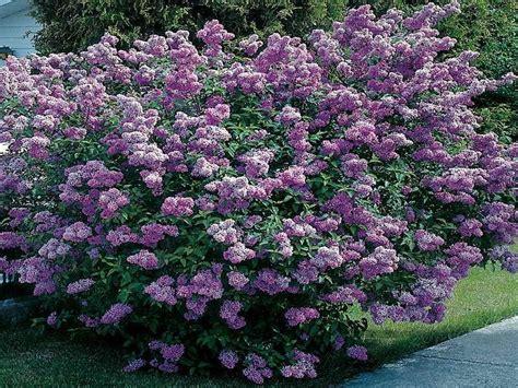 Dwarf Evergreen Shrubs For Full Sun  Full Sun Flowering