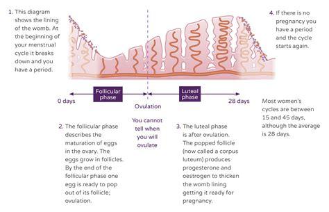 Understanding The Menstrual Cycle Ellaone Uk