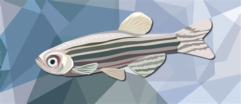 swimming  tail  zebrafish regeneration