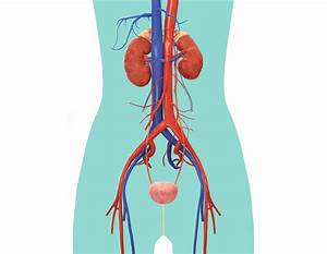Urinary System For Kids