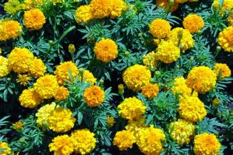 marigold insect repellent 10 mosquitoes controlling plants for home