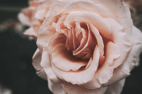 photography vintage photographers flower flowers pink