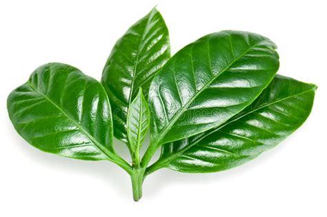 Green Coffee Leaves. Stock Photo. Image Of Caffeine