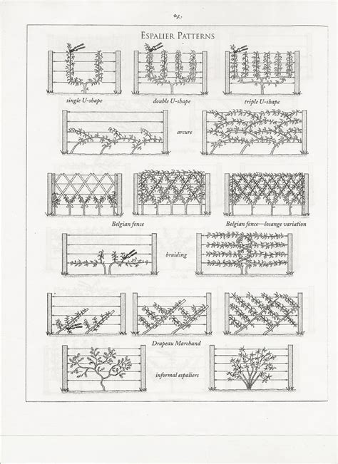espalier designs espalier patterns for apple or pear tree garden border gardening landscaping outside
