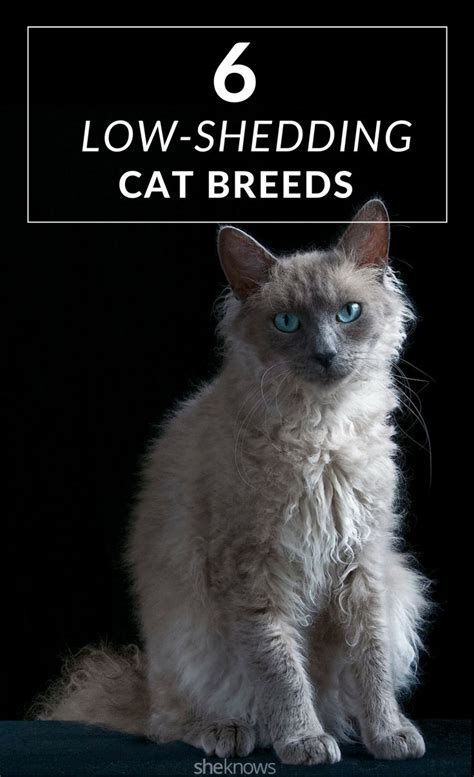 Low Shed Breeds by 17 Best Ideas About Non Shedding Cats On Cat