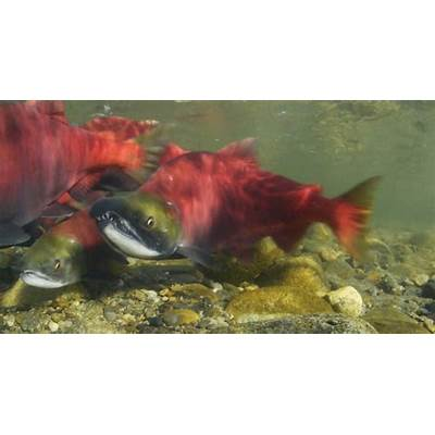 The Journey These Sockeye Take to Their Spawning Grounds