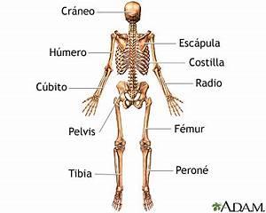 Esqueleto (vista posterior): MedlinePlus enciclopedia ...