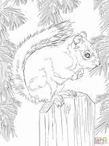 Squirrel Coloring Eekhoorn Malvorlagen Kleurplaat Kleurplaten American Colorare Gratis Printable Disegni 1536 2048 Ausmalen Ausmalbilder Tiere Supercoloring Designlooter Amerikaanse Rode sketch template