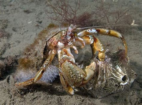 what do hermit crabs eat what hermit crabs eat images