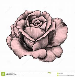 hoontoidly: Rose Drawings In Pencil Images